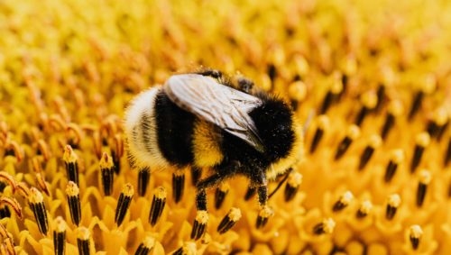 A close-up image of a bee pollinating a flower.